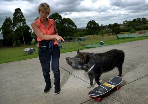 "Ann Harris playing with her pet Australian miniature pig ""Coco"" on her property on the outskirts of Sydney"