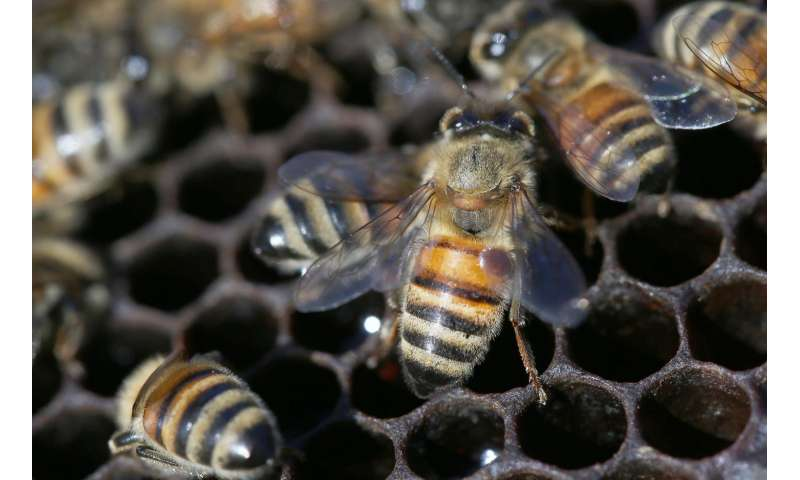 Another species of Varroa mite threatens European honeybees