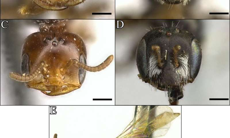 'Ant-like' species of the desert bee genus Perdita