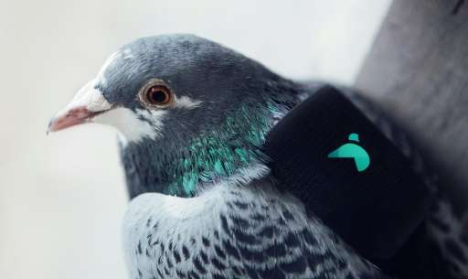 An undated handout photo released in London on March 16, 2016, shows a GPS device and pollution sensor strapped to a pigeon, to