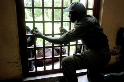 A ranger looks after an orphaned baby Grauer Gorilla at the Senkwekwe centre in Virunga National Park, Democratic Republic of Co