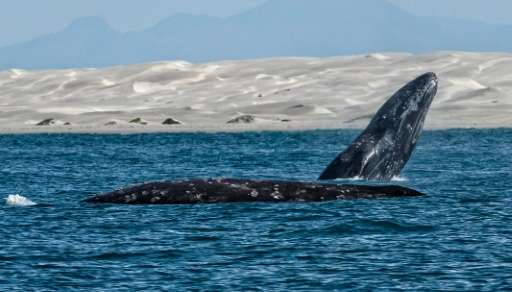 A satellite-tagging program has led to the discovery that western gray whales are the longest migrating mammal known today