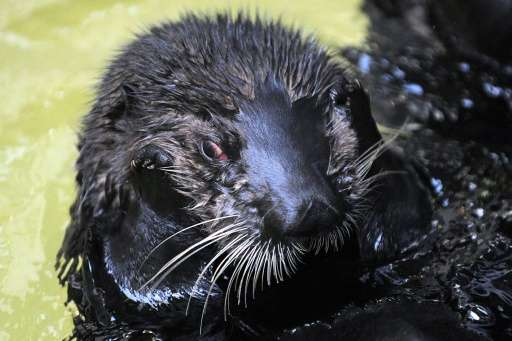 A sea otter pictured at the Oceanopolis centre in Brest, western France, on December 9, 2016