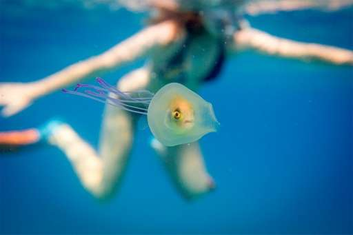 A small fish is seen swimming inside the belly of a jellyfish off the coast of Byron Bay in New South Wales, eastern Australia