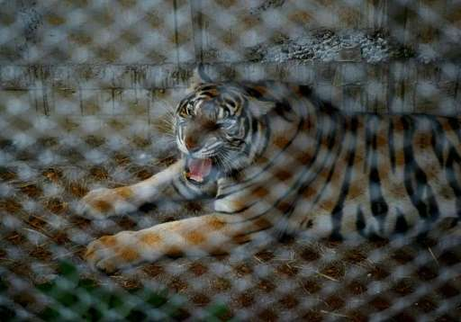 """A tiger pictured inside a cage at the Wat Pha Luang Ta Bua """"Temple of Tigers"""" in Kanchanaburi province, western Thaila"""