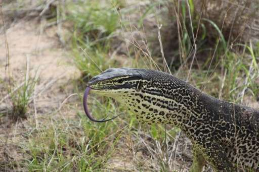 A 'trained' floodplain monitor lizard pictured in the Kimberly region of Western Australia