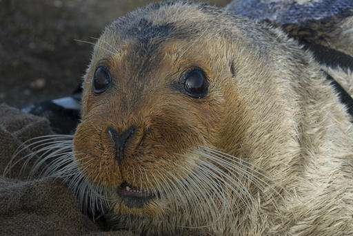 Attorneys argue for listing bearded seals as threatened