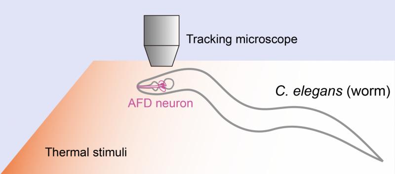 A two-way street between temperature sensing, brain activity