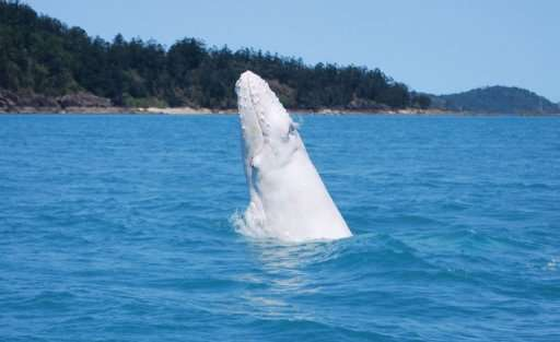 Australia's east coast humpback population has been brought back from the brink of extinction following the halting of whaling i
