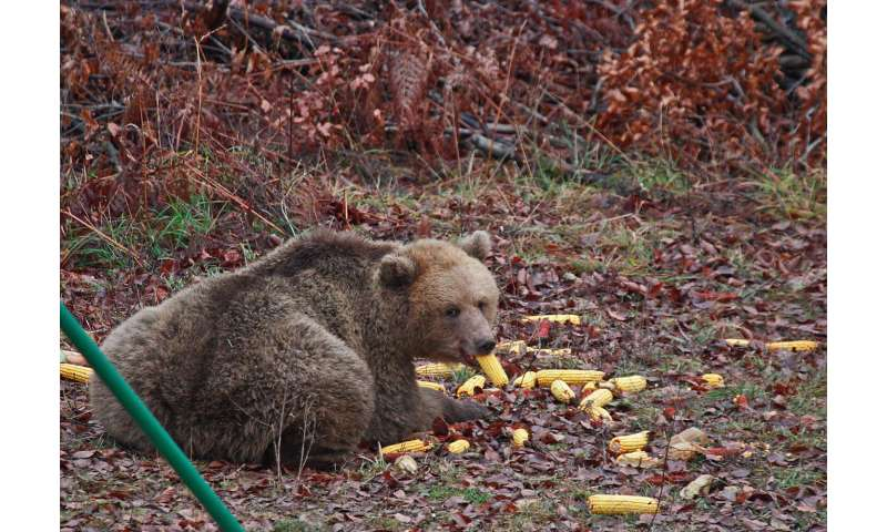 Availability of human food shortens and disrupts bears' hibernation
