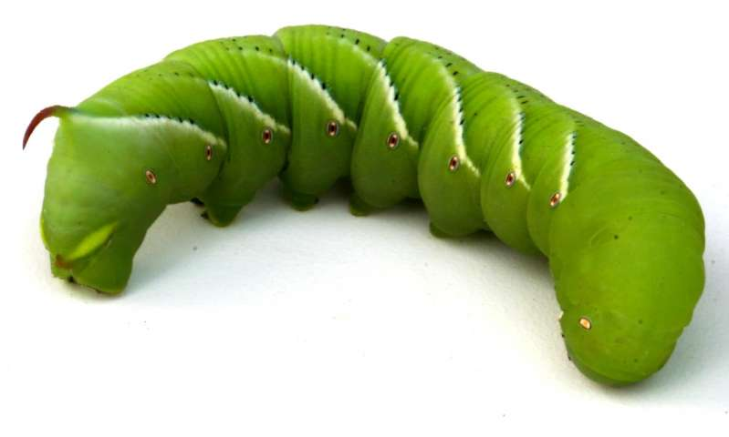 A very hungry caterpillar: Researchers sequence genome of 'gluttonous' tobacco hornworm