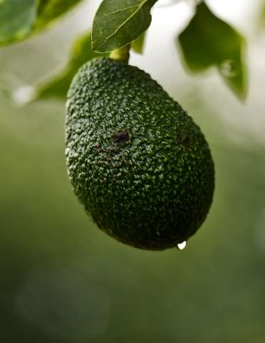 Avocado, a fruit that originated in Mexico, is loaded with vitamins, proteins and healthy fats