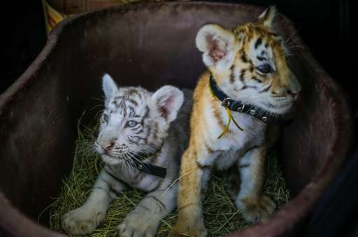 A white Bengal tiger cub and its golden sister rest in a basket during a presentation in Managua, Nicaragua on April 12, 2016