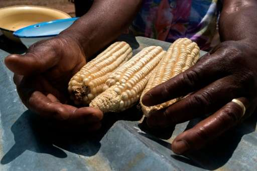 A woman shows a drought and heat tolerant maize from her dry field in the Zaka Masvingo province, on October 24 2016
