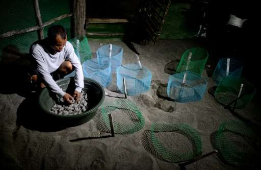 A worker gathers olive ridley sea turtle hatchlings into a plastic water basin before they are released at a beach in Morong