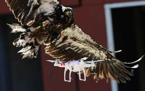 A young eagle attempts to catch a drone during a demonstration organized by Dutch police to combat drones flying over sensitive