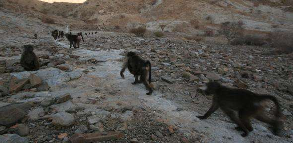 Baboons watch neighbours for clues about food, but can end up in queues