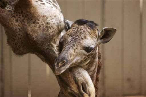 Baby giraffe born at Santa Barbara Zoo seen on video