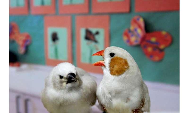 'Baby talk' can help songbirds learn their tunes