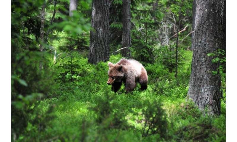 Bears' seasonal hibernation linked to changes in gut microbes