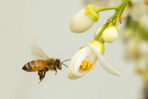 Bees help pollinate around 80 percent of all species of flowering plants, so without them many fruits and vegetables would be un