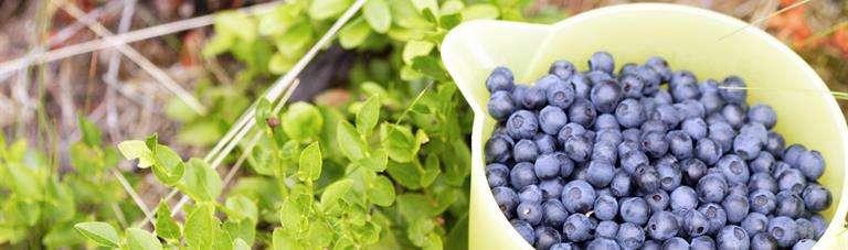 Bilberries to increase our dietary fiber intake