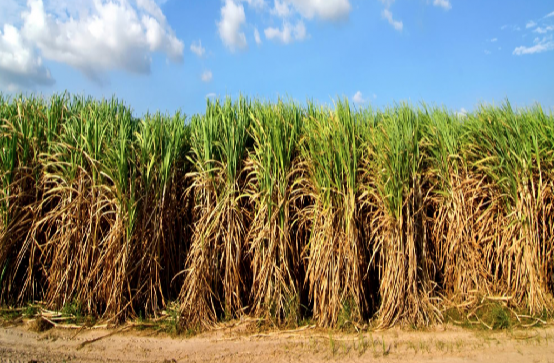 Biodiesel from sugarcane more economical than soybean