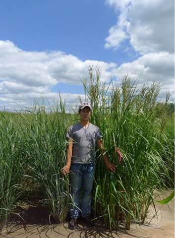 Biofuel producers with poor soil should consider prairie cordgrass