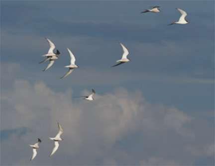 Birds fly faster in large flocks