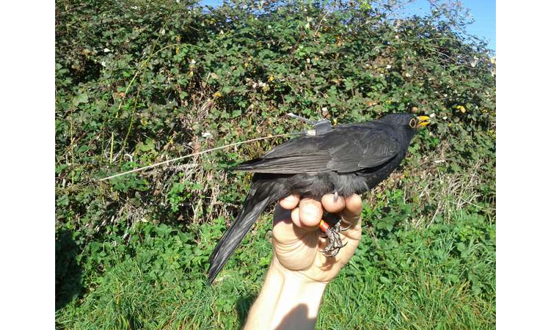 Blackbirds Switch Abruptly To Fly By Night Behaviour At Migration Time