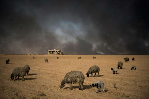 Blackened sheep graze as oil wells, set ablaze by retreating Islamic State (IS) jihadists, burn in the background, in the town o