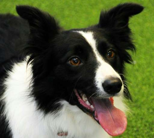 Border collies were used in the canine IQ tests