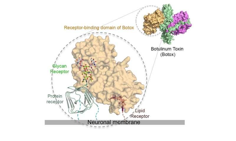 Botox's sweet tooth underlies its key neuron-targeting mechanism