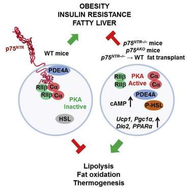 Brain receptor regulates fat burning in cells