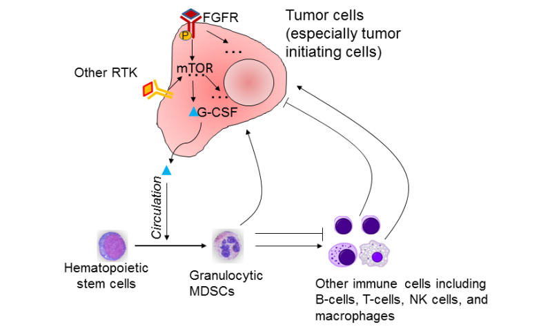 Breast cancer tumor-initiating cells use mTOR signaling to recruit suppressor cells to promote tumor