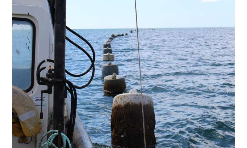 Buoys mark the locations where mussel lines drop into the sea