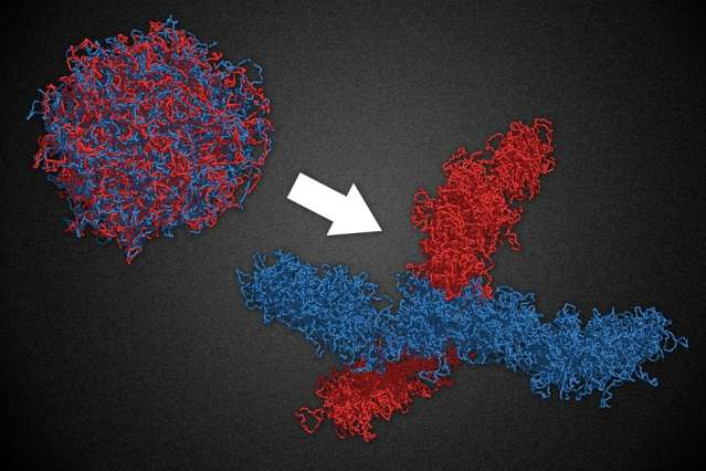 By organizing chromosomes into many tiny loops, molecular motors play key role cell division