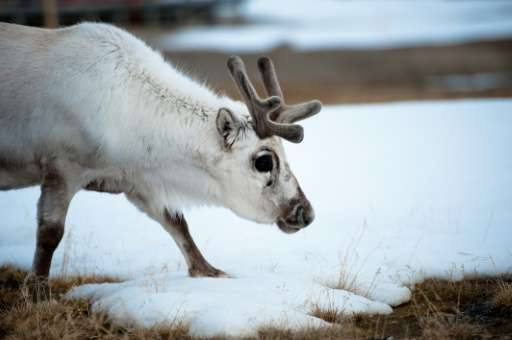 By the time they reached adulthood, reindeer born in 2010 weighed just over 48 kilogrammes (106 pounds), compared to 55 kg for t