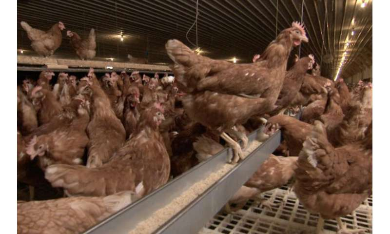 Cage-free sounds good, but does it mean a better life for chickens?