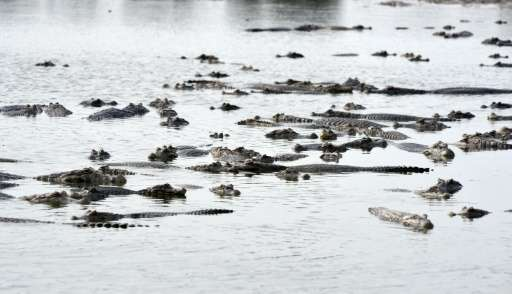 Caimans crowd a pond in General Diaz, Paraguay on June 24, 2016 as the area faces its worst drought in almost two decades