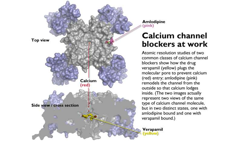 Calcium channel blockers caught in the act at atomic level