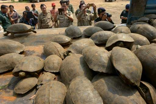 Cambodian authorities take pictures of smuggled elongated tortoises after the animals were confiscated in Kandal province on Mar