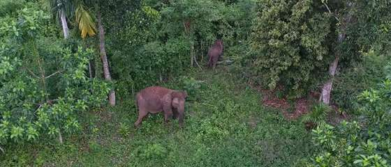 Can drone technology save the Sumatran elephant?