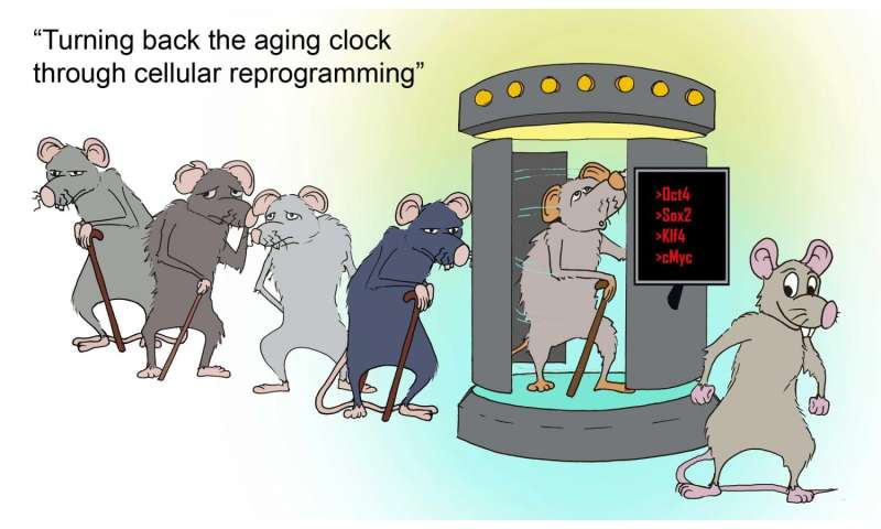 Cellular reprogramming slows aging in mice