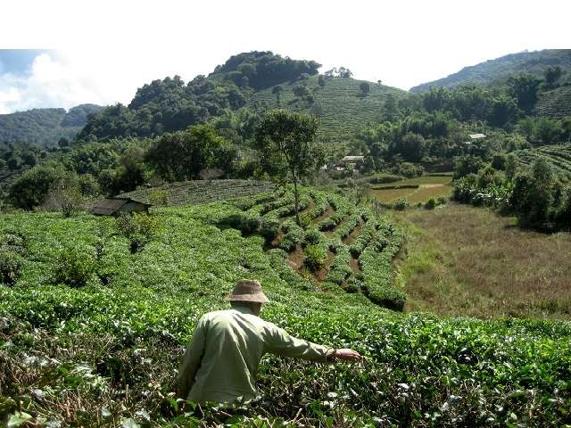 Changing monsoon patterns, more rain contribute to lower tea yield in Chinese provinces