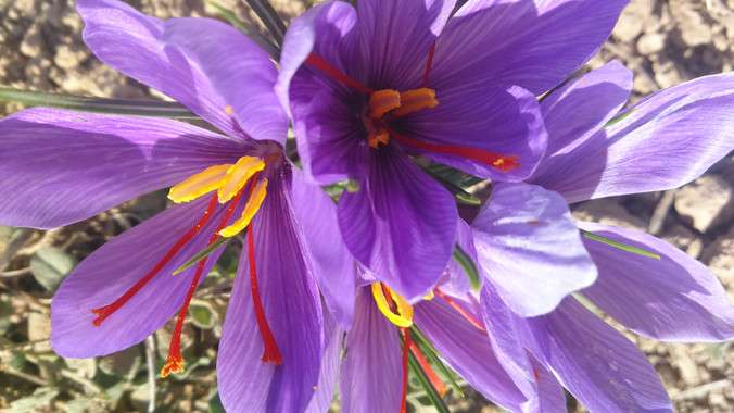 Chemical fingerprints confirm the saffron fraud