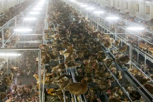 Chickens are pictured locked in a poultry farm in the Netherlands on November 10, 2016 following the discovery of bird flu among