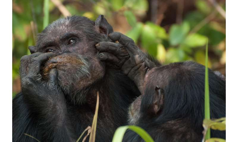 Chimpanzee males court friends in high places