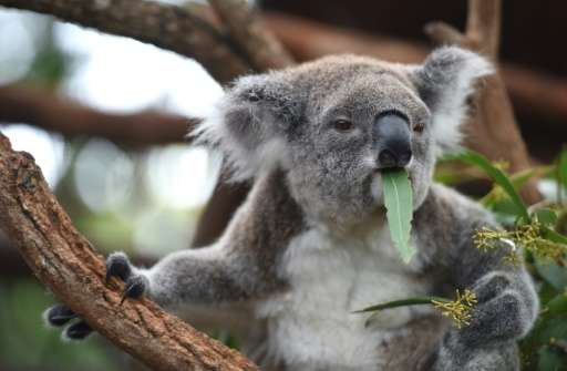 Chlamydia has been in koala populations for some time and can cause blindness, infertility and death