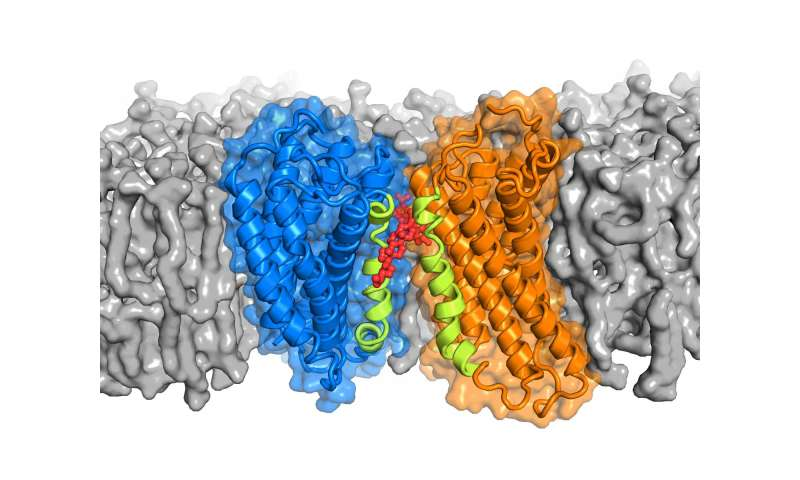 Cholesterol may help proteins pair up to transmit signals across cell membranes